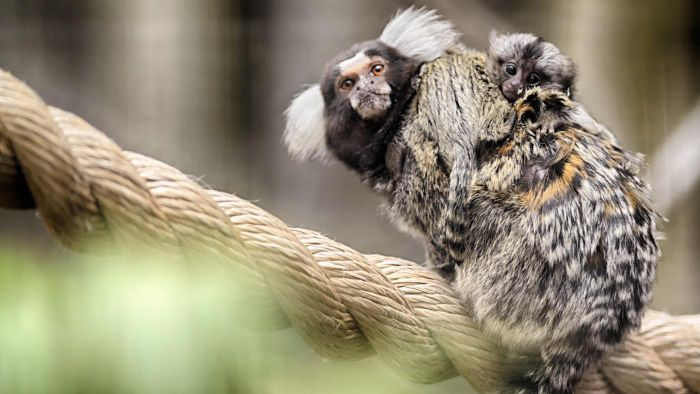How Do You Feed a Baby Marmoset Monkey?