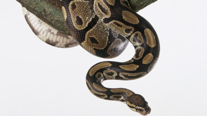 Lesser Bee Ball Python How Often Do You Feed ...