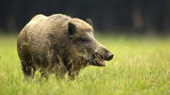 What Is a Female Boar Called?