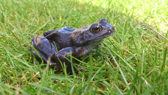 What Is a Female Frog Called?