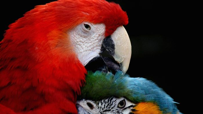 What Is a Female Parrot Called?