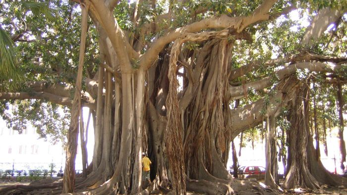 Are Ficus trees poisonous?