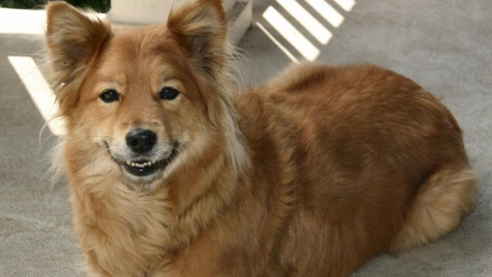 What Are Finnish Spitz Puppies?