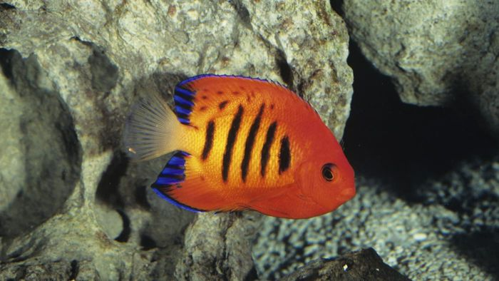 What Is a Fire Angelfish?