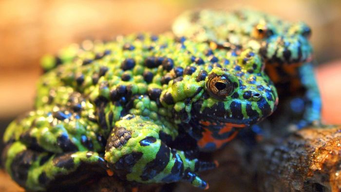 What Do Fire-Bellied Toads Eat?