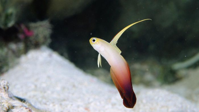 What is a Firefish Goby?