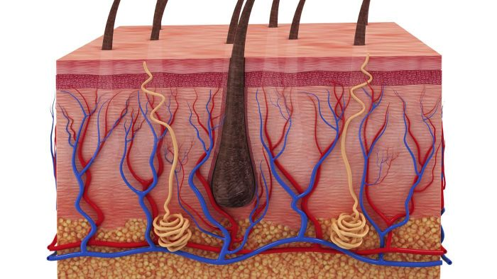 What Are the Five Layers of the Epidermis?