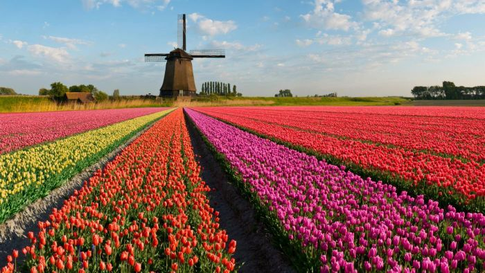 What Flower Once Caused the Dutch Economy to Crash?