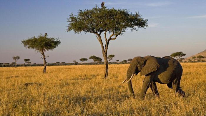 What Is the Food Chain in the Savanna?