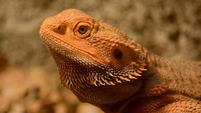 What are some food items on a bearded dragon diet list?