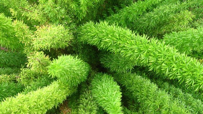What Is a Foxtail Fern?