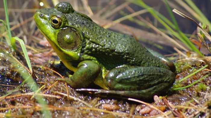 What Is a Frog's Scientific Name?