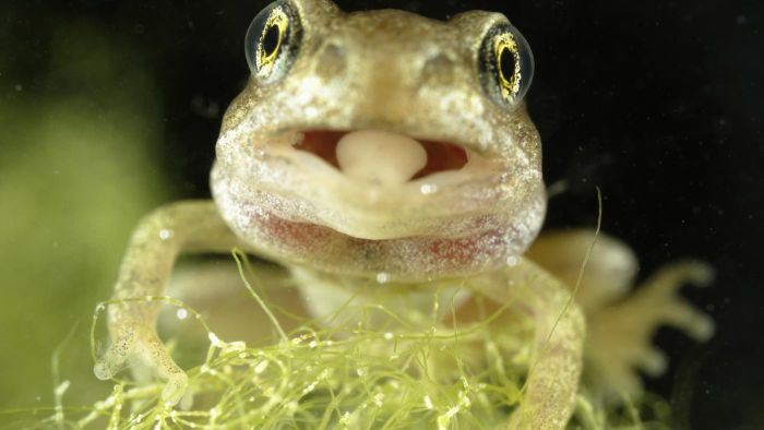 How Is the Frog's Tongue Attached?