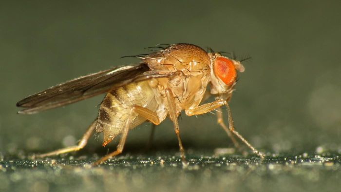 What do fruit flies look like?