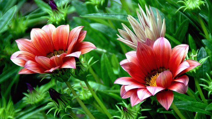 What Is a Gazania Plant?
