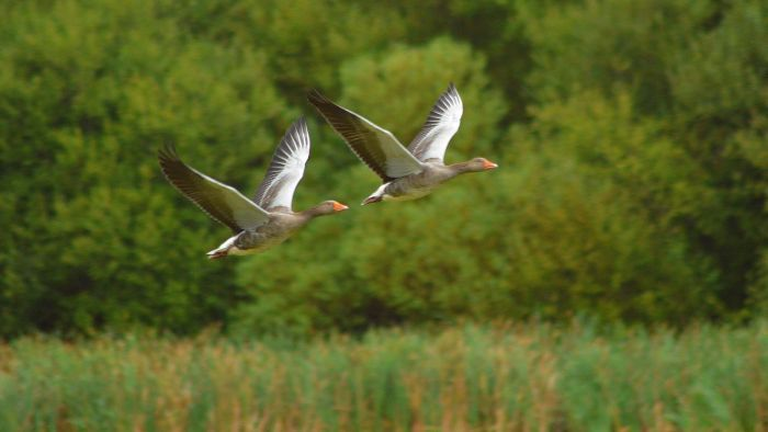 Why Do Geese Fly South for the Winter?