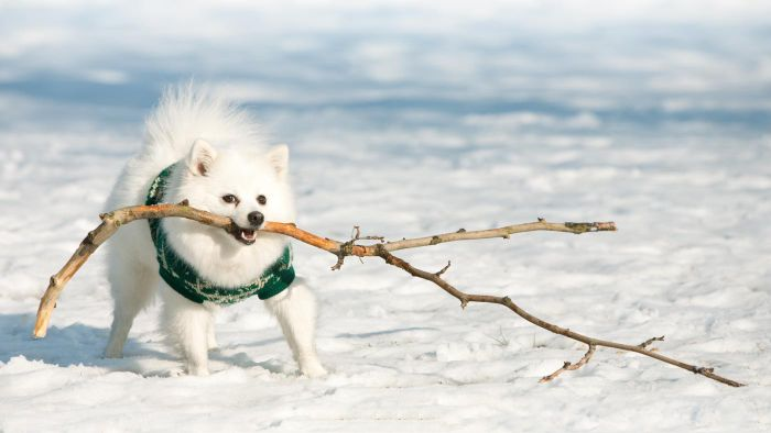 What Is a German Spitz?