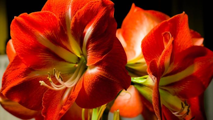 What Is a Giant Amaryllis?