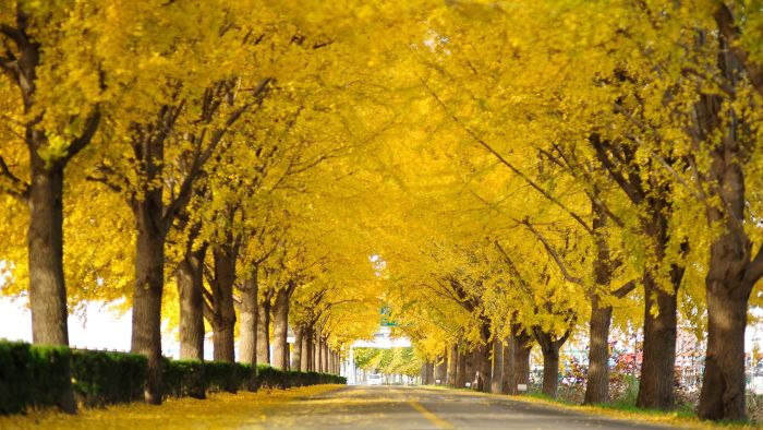 What Does a Ginkgo Tree Smell Like?