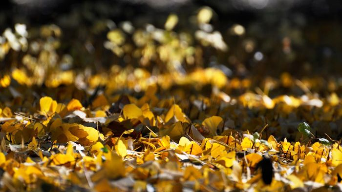 Are ginko leaves good for you?