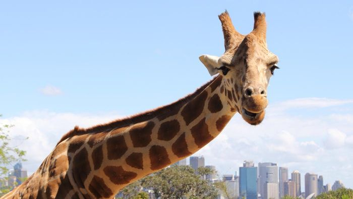 What Do Giraffes Eat While in Captivity?