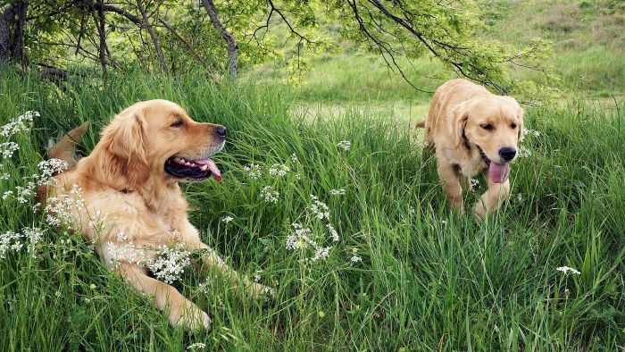 Are Golden Retrievers Good Dogs?