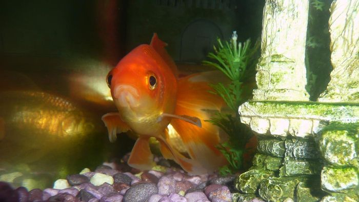 Why is my goldfish hiding?