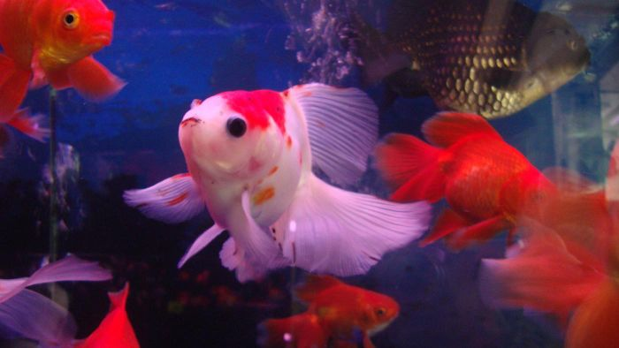 Do Goldfish Need an Air Pump?