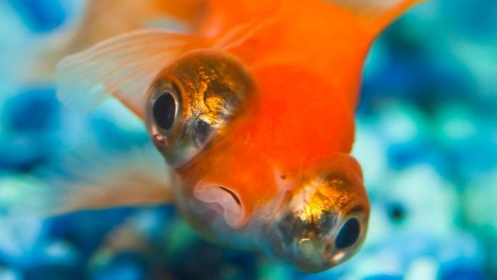 Why do goldfish swim upside down?