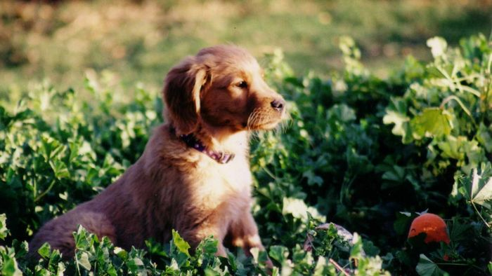 What Are Good Names for a Male Golden Retriever?