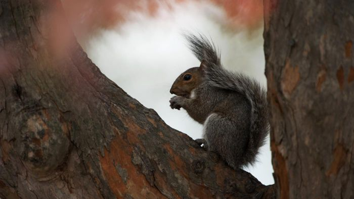 What Are Some Facts About the Gray Squirrel?