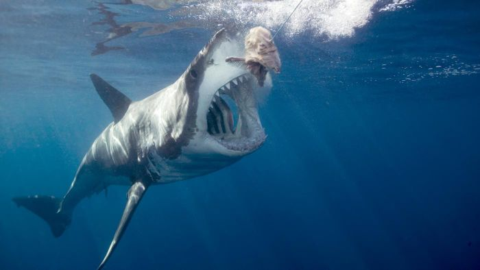 What Do Great White Sharks Eat?