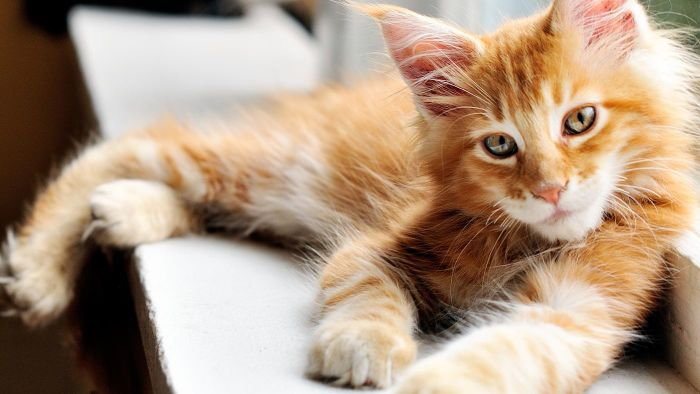 How Do You Groom an Orange Maine Coon Cat?