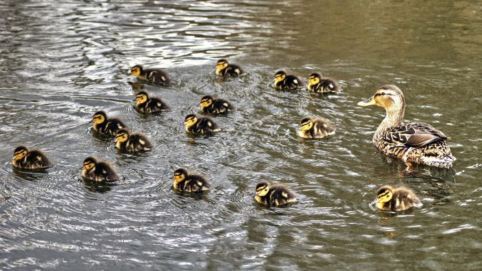 What is a group of baby ducks called?