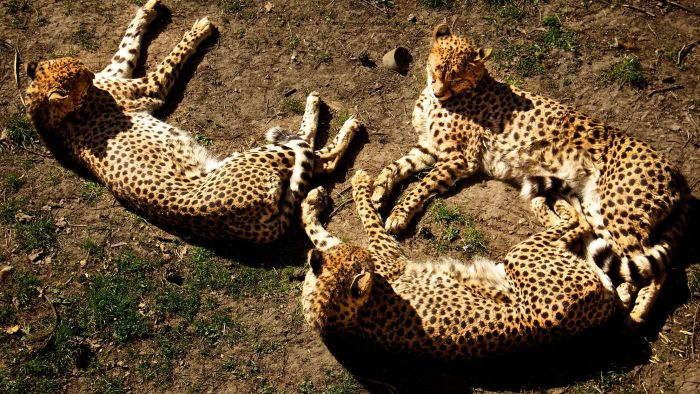 What Is a Group of Cheetahs Called?