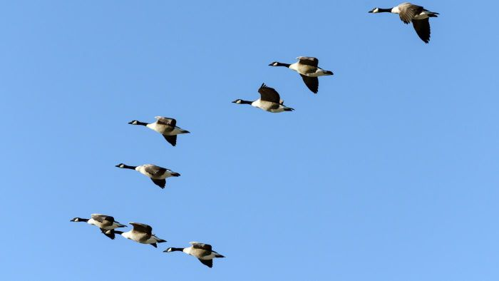 What Is a Group of Geese in the Air Called?