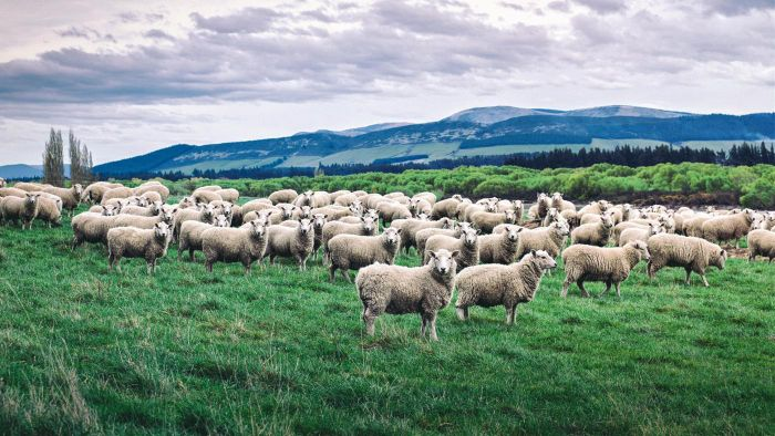 What is a group of sheep called?