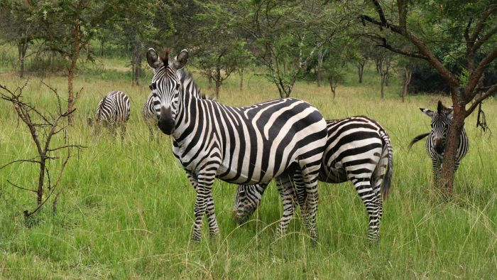 What Is a Group of Zebras Called?
