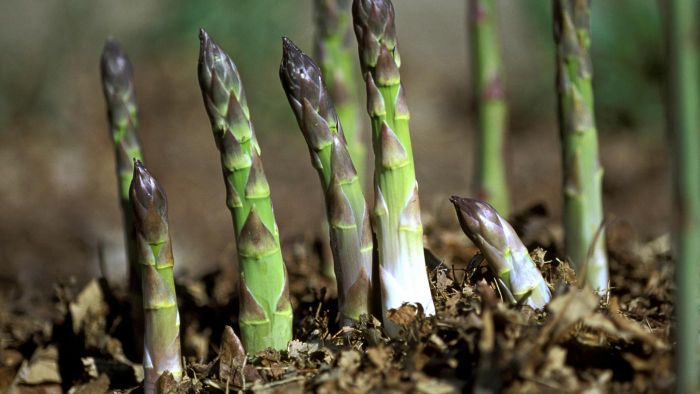 How Do You Grow Asparagus?