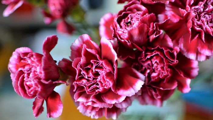 How Do You Grow Carnations?