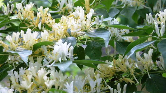 How Do You Grow Honeysuckle?