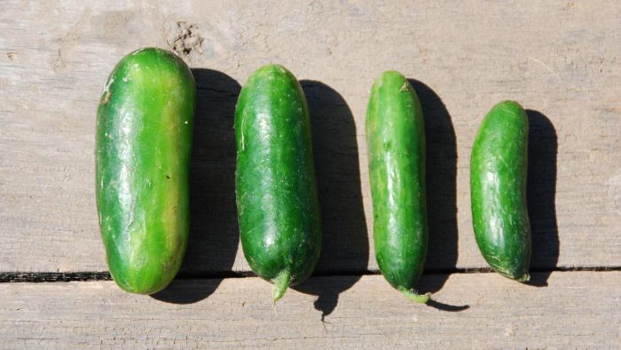 How do you grow Persian cucumber seeds?