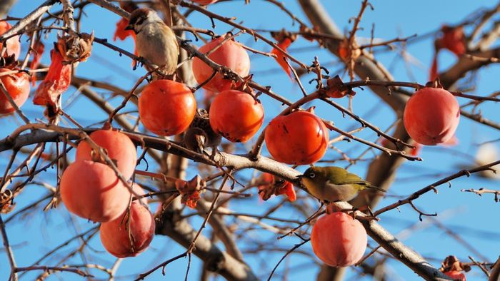 How Do You Grow a Persimmon Tree?