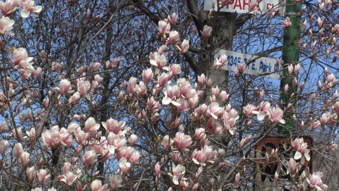 What Is the Growth Rate of a Tulip Tree?