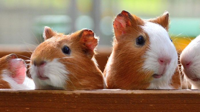 Where Do Guinea Pigs Come From?