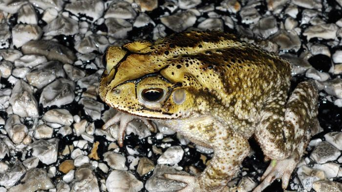 What is a Gulf Coast toad?
