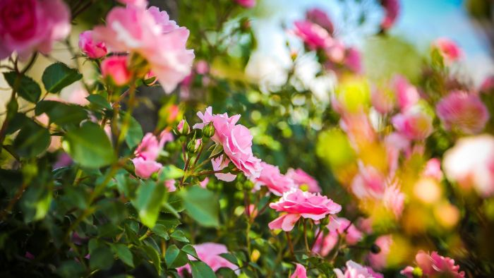What Is the Best Habitat for Roses?