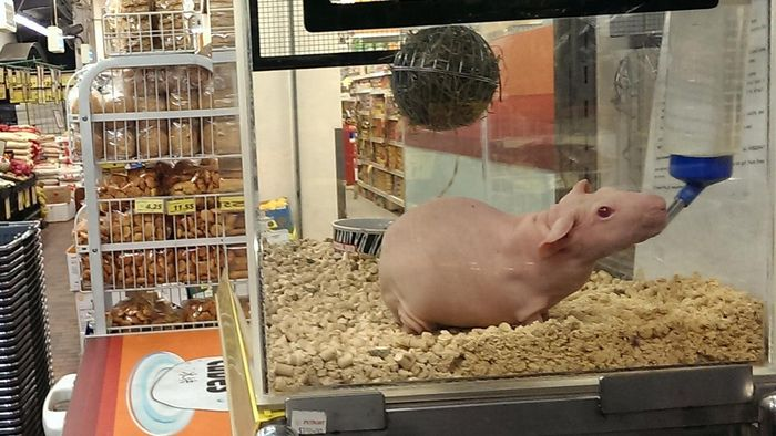 What Are Hairless Guinea Pigs Called?