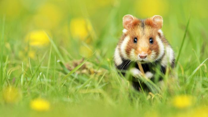 Where Do Hamsters Live in the Wild?