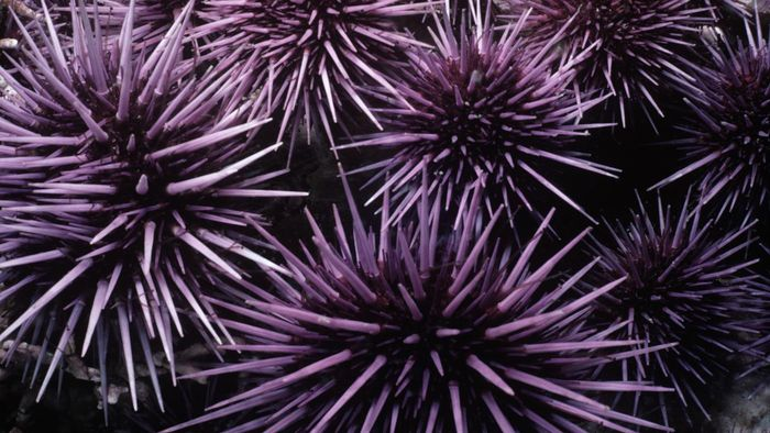 What Happens After a Person Gets Stung by a Sea Urchin?